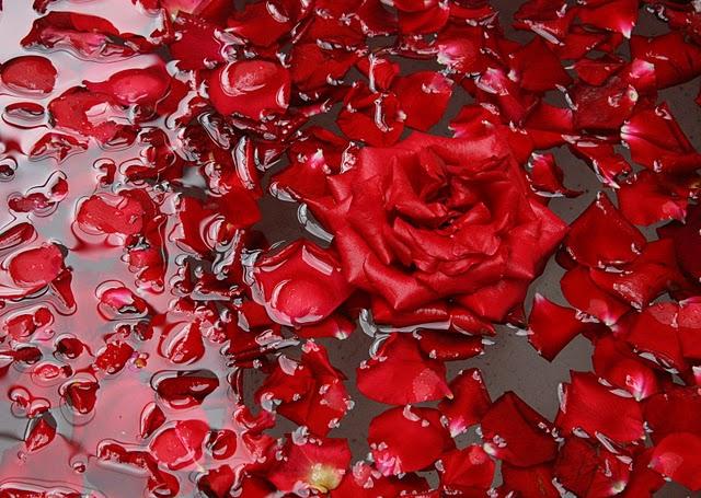 pétalos, rosa, amor, deshojada
